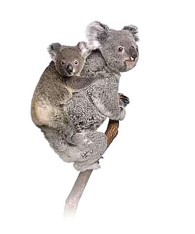 noosa-koala